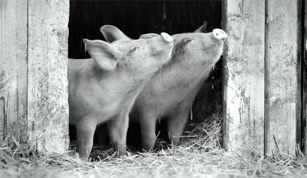 """Joaquin Phoenix explica por que """"Gunda"""" não é uma propaganda vegana"""